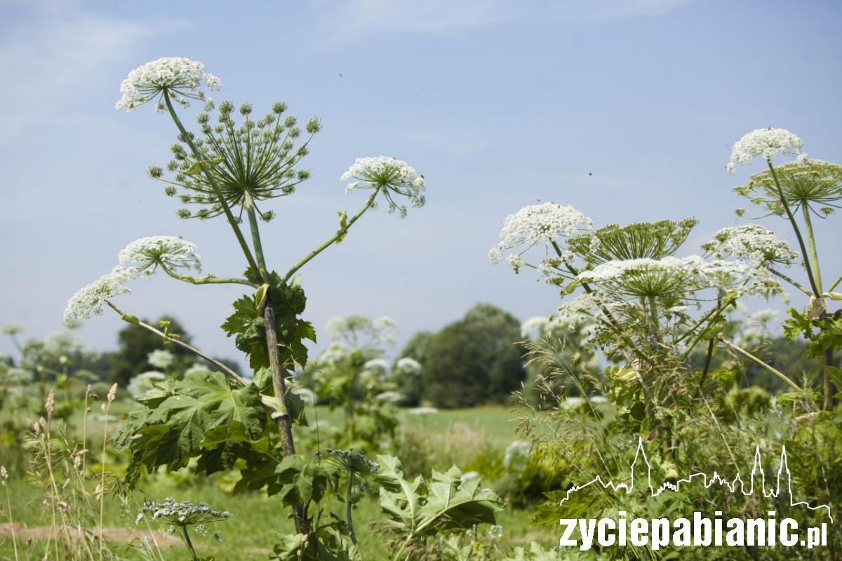 Ten barszcz Sosnowskiego rośnie w Żytowicach